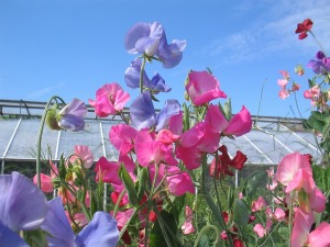 sweet pea flowers in a garden